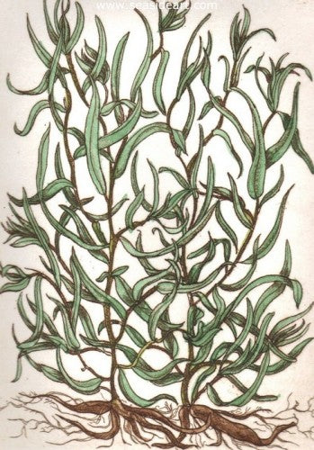 Tarragon by Carolyn A. Cohen - Seaside Art Gallery