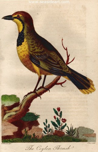 The Ceylon Thrush by George Edwards - Seaside Art Gallery