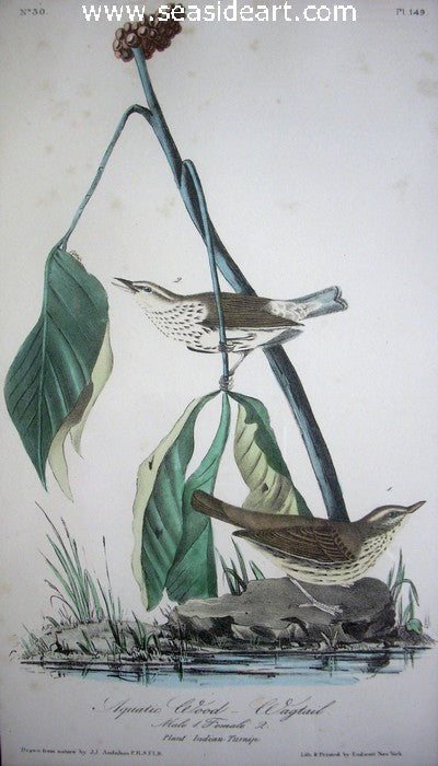 Aquatic Wood Wagtail by John James Audubon - Seaside Art Gallery