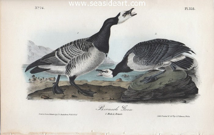 Bernacle Goose by John James Audubon - Seaside Art Gallery