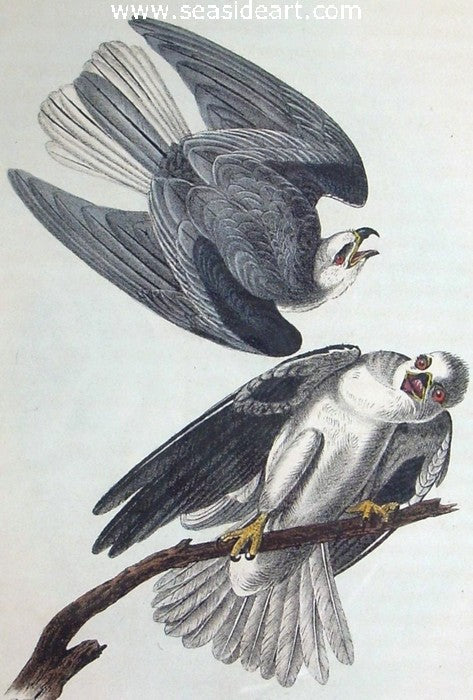 Black-shouldered Elanus by John James Audubon - Seaside Art Gallery