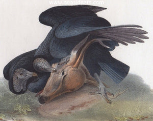 Black Vulture or Carrion Crow Plate #3 by John James Audubon - Seaside Art Gallery