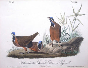 Blue-headed Ground Dove or Pigeon by John James Audubon - Seaside Art Gallery