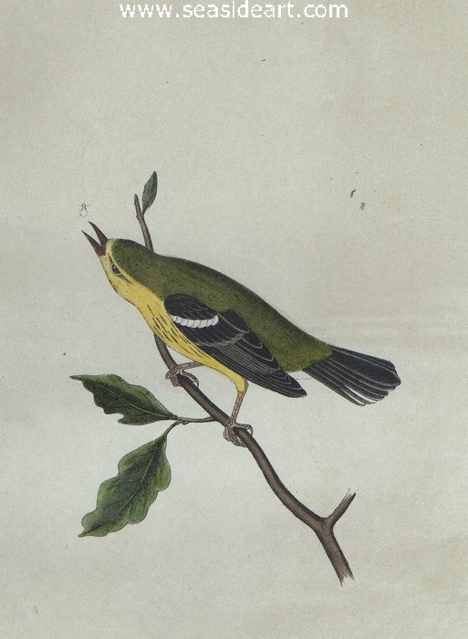 Blue Mountain Warbler by John James Audubon - Seaside Art Gallery
