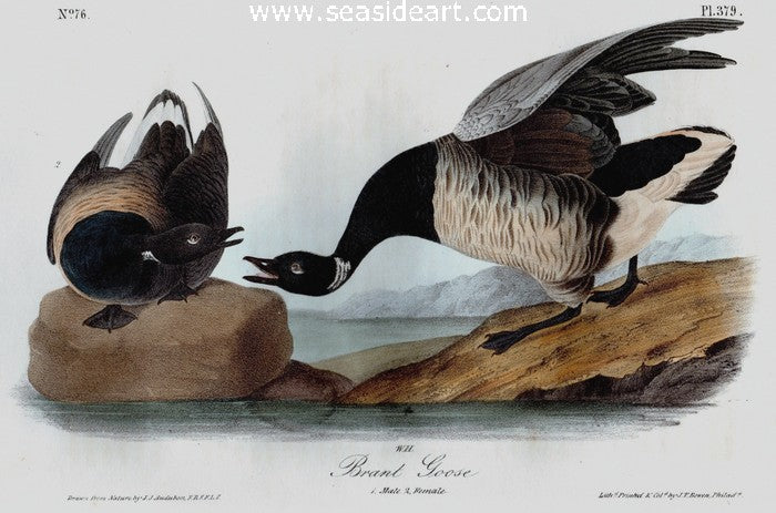 Brandt Goose by John James Audubon - Seaside Art Gallery