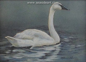 Calm Repose-Trumpeter Swan by Rebecca Latham - Seaside Art Gallery
