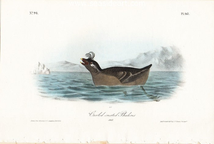 Curl-crested Phaleris by John James Audubon - Seaside Art Gallery