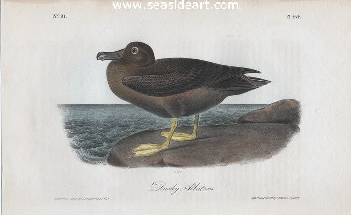 Dusky Albatross by John James Audubon - Seaside Art Gallery
