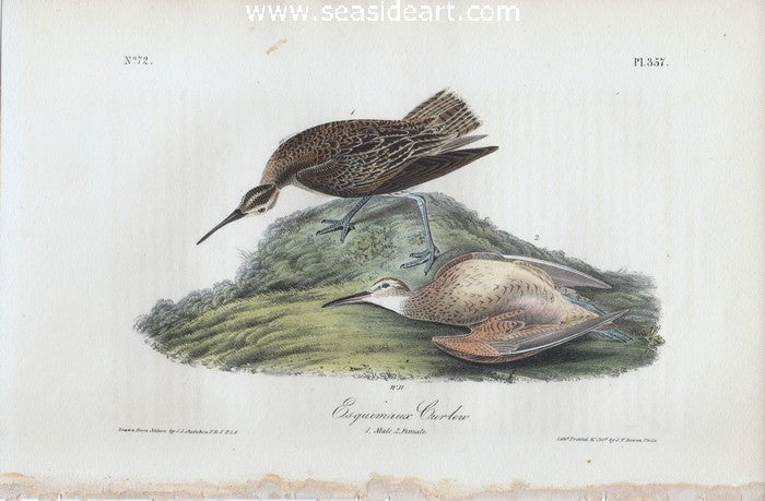 Esquimaux Curlew by John James Audubon - Seaside Art Gallery