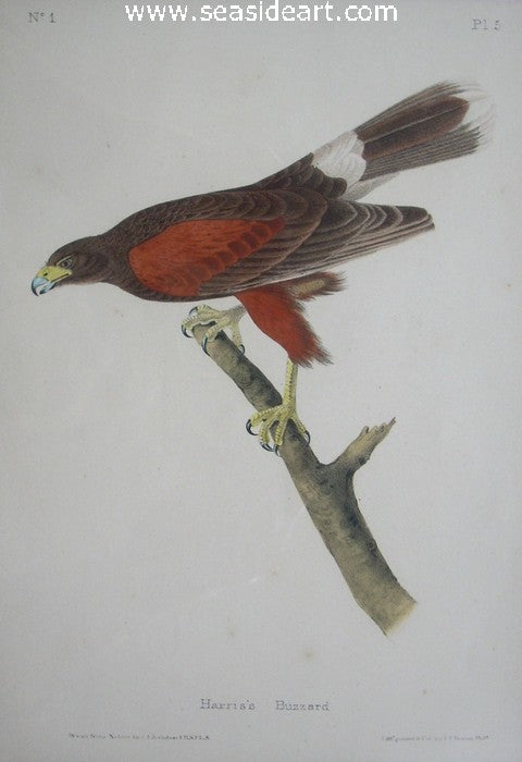 Harris's Buzzard by John James Audubon - Seaside Art Gallery