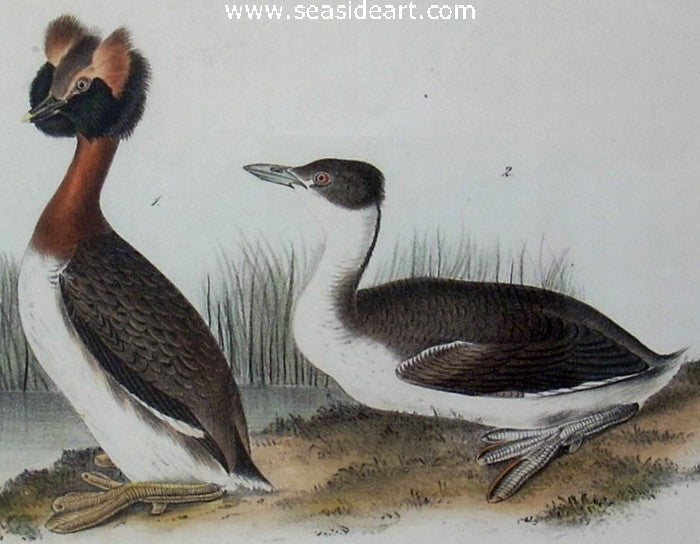 Horned Grebe by John James Audubon - Seaside Art Gallery