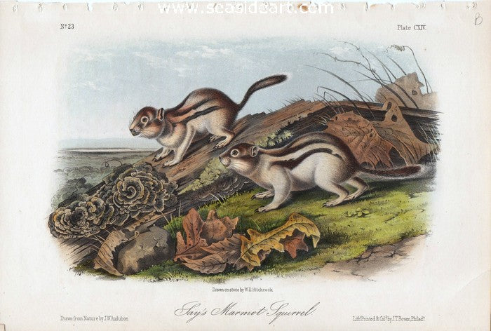 Jay's Marmot Squirrel by John James Audubon - Seaside Art Gallery