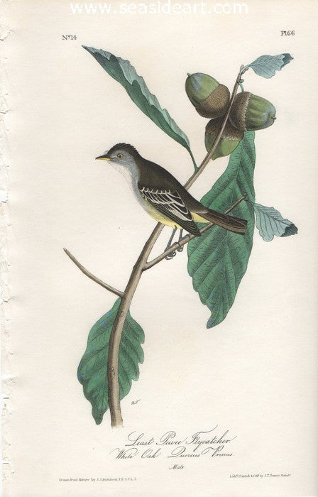Least Pewee Flycatcher by John James Audubon - Seaside Art Gallery