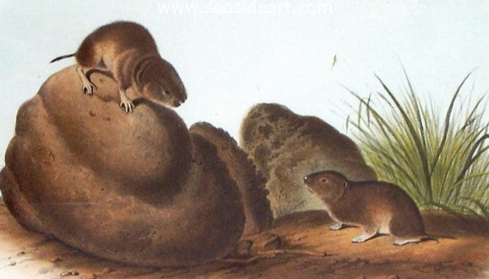 Lecontes Pine Mouse by John James Audubon - Seaside Art Gallery