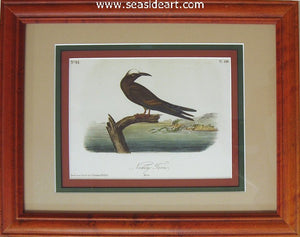 Noddy Tern by John James Audubon - Seaside Art Gallery