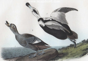 Pied Duck by John James Audubon - Seaside Art Gallery
