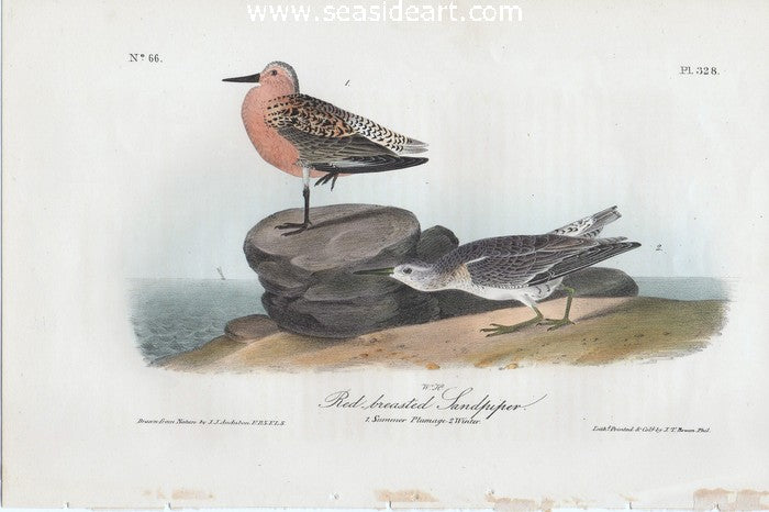 Red-breasted Sandpiper by John James Audubon - Seaside Art Gallery