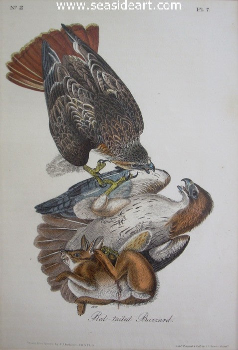 Red-tailed Buzzard by John James Audubon - Seaside Art Gallery