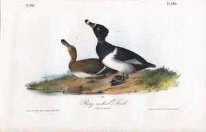 Ring-necked Duck by John James Audubon - Seaside Art Gallery