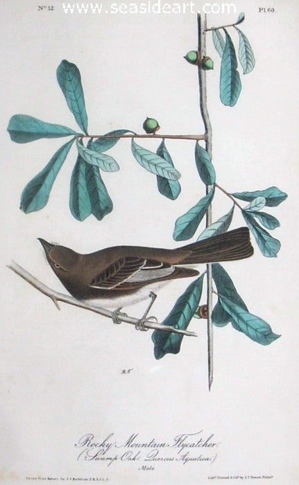 Rocky Mountain Flycatcher by John James Audubon - Seaside Art Gallery