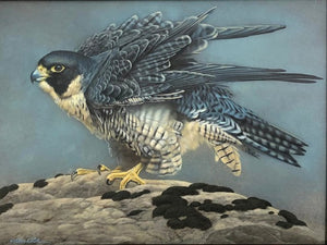 Ruffled Feathers (Peregrine)