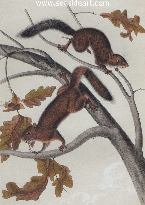 Soft Haired Squirrel by John James Audubon - Seaside Art Gallery