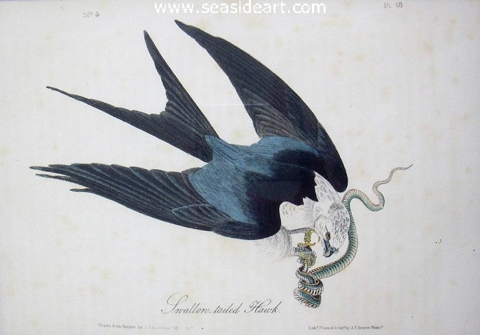 Swallow Tail Hawk by John James Audubon - Seaside Art Gallery