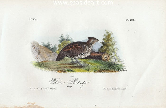 Welcome Partridge by John James Audubon - Seaside Art Gallery