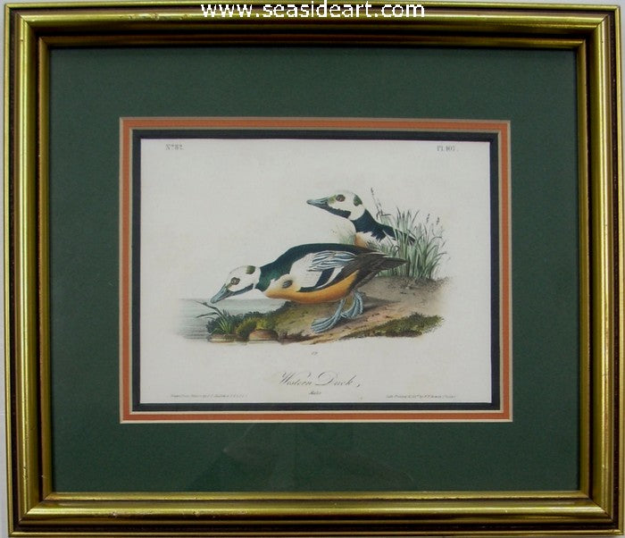 Western Duck by John James Audubon - Seaside Art Gallery