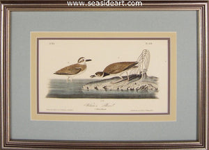 Wilson's Plover by John James Audubon - Seaside Art Gallery