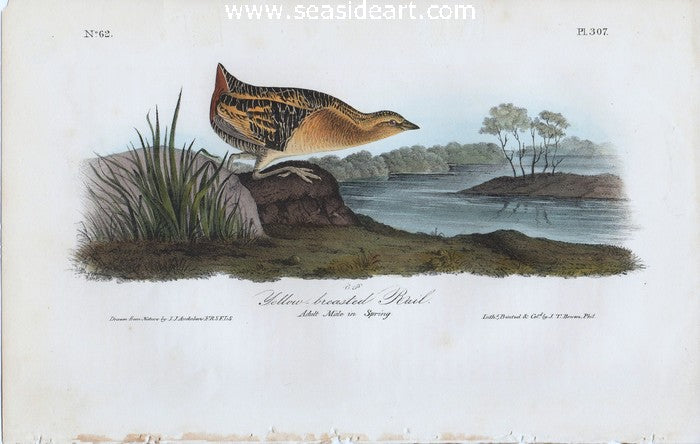 Yellow-Breasted Rail by John James Audubon - Seaside Art Gallery