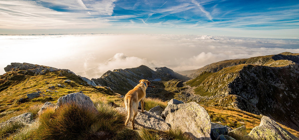 A dog on the mountain top