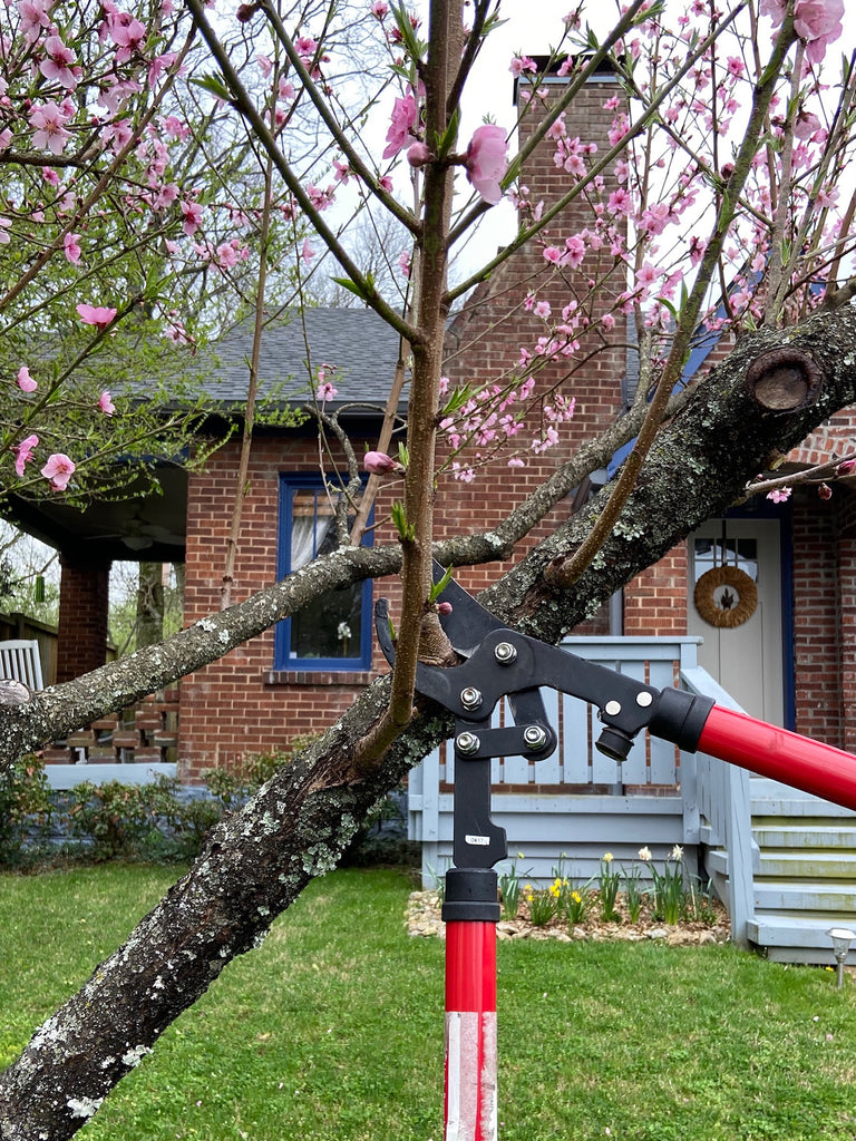 Pruning a Peach Tree