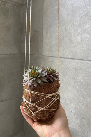 Hanging Sempervivum
