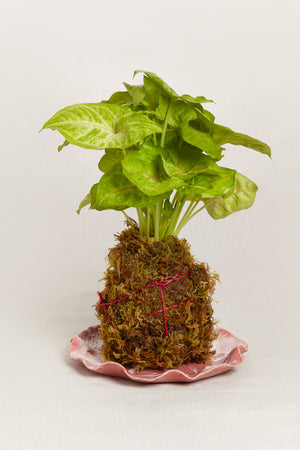 Kokedama Plate for Plants