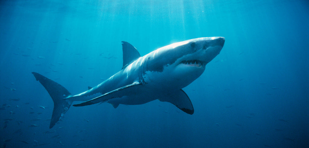 Get to Know the Great White Shark