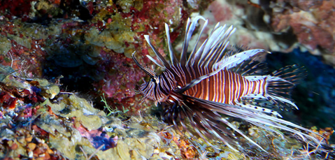King of Anywhere: Invasive Lionfish