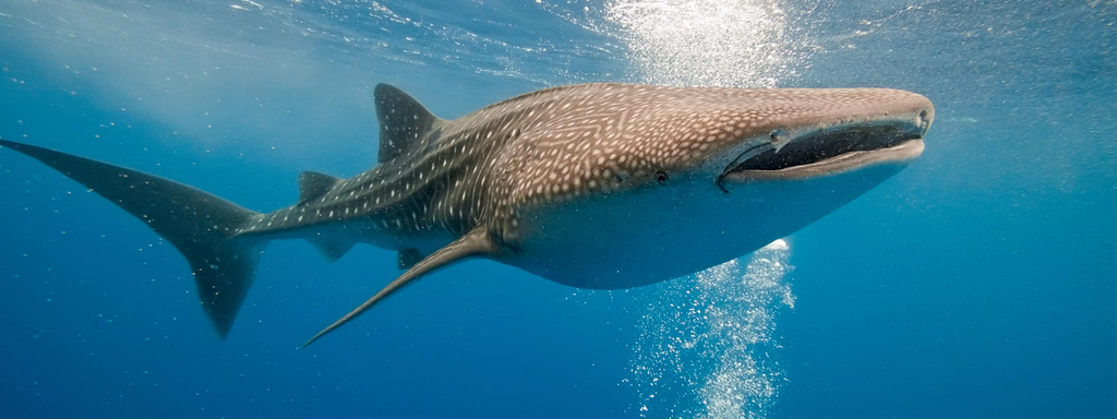 All About Whale Sharks!