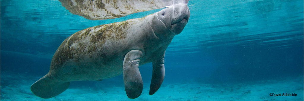 Manatee Swimming In the Sea