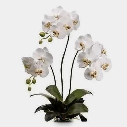 Vase of three stems of Phalaenopsis plant