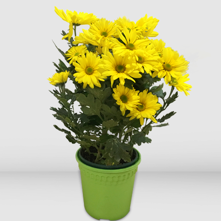 Potted Yellow Mums