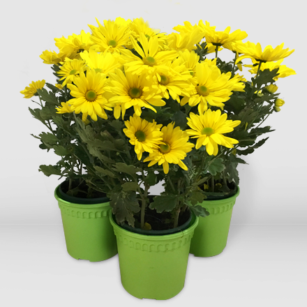 Three pots of yellow mums