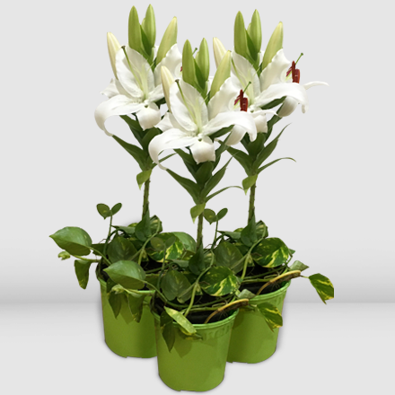 Three pots of casa blanca lily