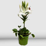 Potted Casablanca Lily