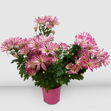 Potted Seasonal Multi-stems Lavender Mums