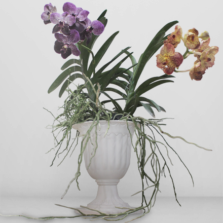 Two pots of vanda plants
