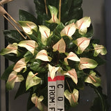 Twenty-four premium greenish large anthuriums