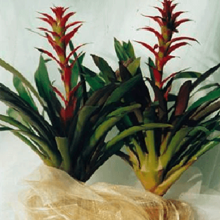 Potted Bromeliad
