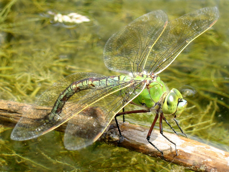 Female Emperor Dragonfly Laying Eggs - Anax Imperator