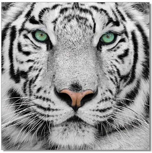 Black and White Tiger Acrylic Wall Art by Venini